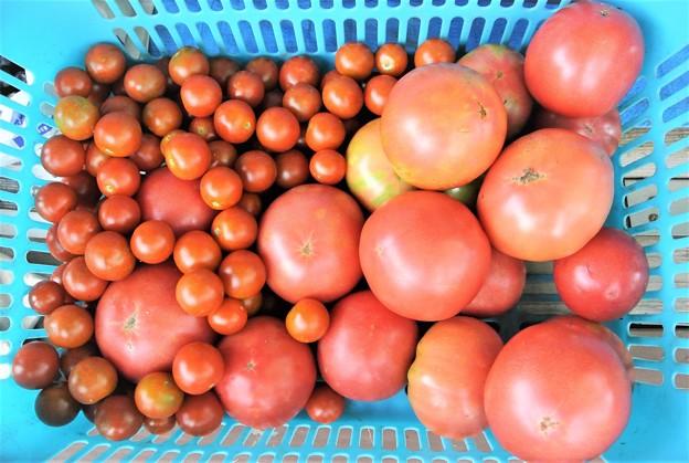 一週間あけのトマト