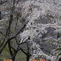 14042911simotazawa-sakura02