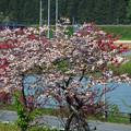 道の駅とざわの紅梅と八重桜