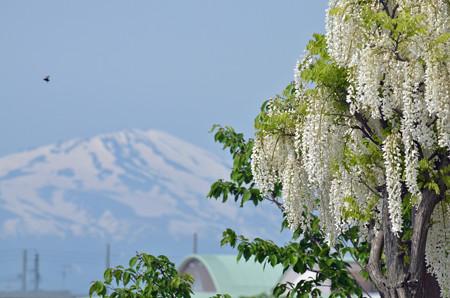 14052鳥海山と藤02