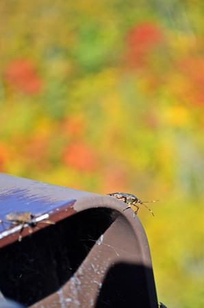 カメムシの紅葉狩り