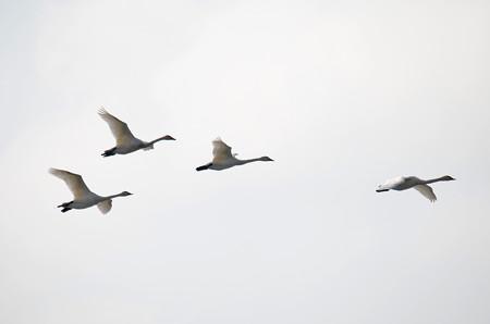 飛ぶ白鳥その5