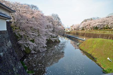 160416霞城公園の桜03