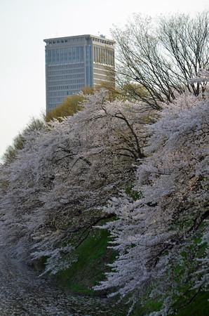 160416霞城公園の桜09