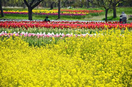 チューリップ園だけど菜の花