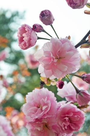 チューリップ園だけど八重桜