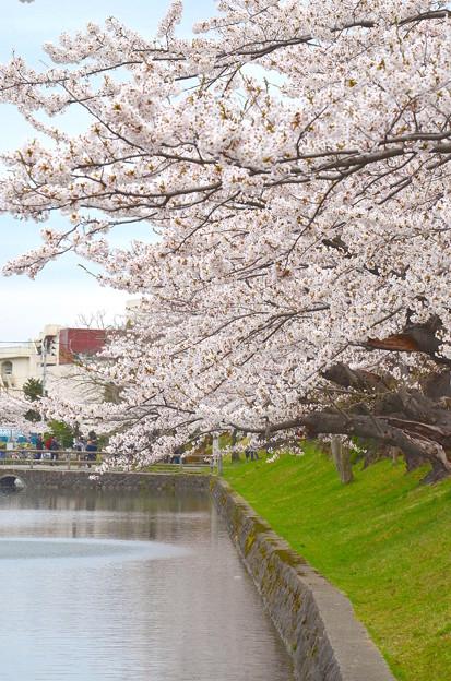 180414桜02