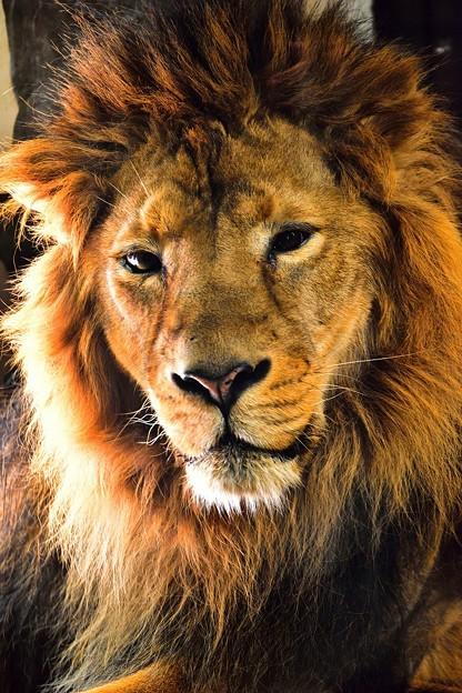 ライオンさん