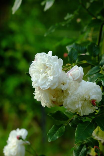 エメビベール ブッシュ 'Aimée Vibert Bush' Vibert (仏 1828) N Champneys' Pink Cluster × Rosa sempervirens pleno