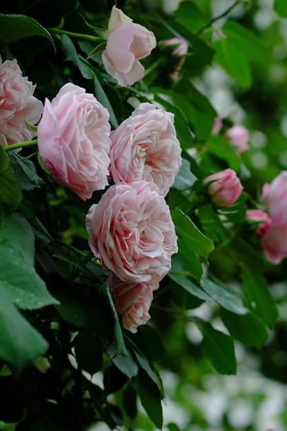 グリバルドニコラ 'Gribaldo Nicola' Soupert et Notting (ルク 1890) N Bouquet d'Or × La Sylphide (7)