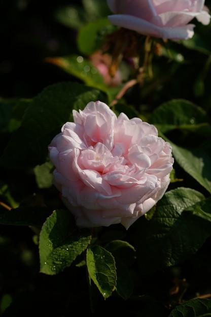セリーナデュポ 'Coelina Dubos' Dubos (仏 1849) P sport of Rose du Roi