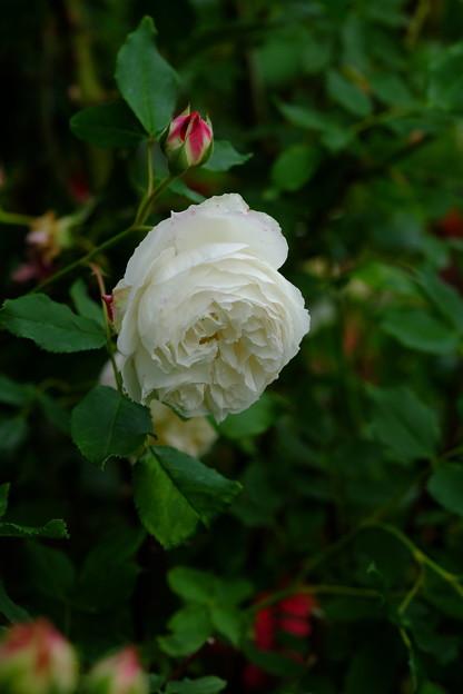ペルルデブランシェ 'Perle des Blanches' Lacharme (仏 1872) B Mlle Blanche Lafitte × Sappho (4)