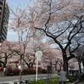 Photos: 播磨坂の桜も満開。桜並木をずっと通って行って小石川植物園、っての...