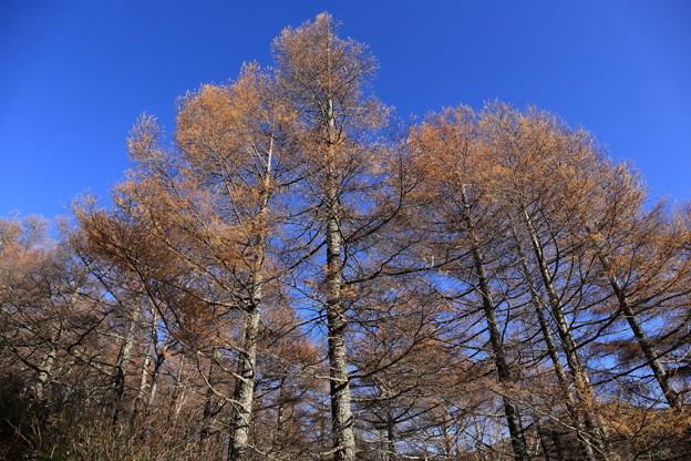 澄み切った青空とカラマツの黄葉2