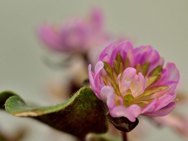 写真: 春待ち(ユキワリソウ)