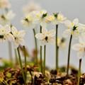写真: 春待ち(バイカオウレン)