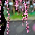 Photos: 梅降り