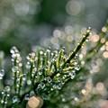 写真: スギナの水滴