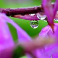 写真: 雨 紫蘭