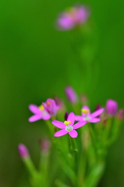 写真: 荒地にピンク