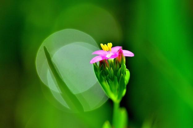 写真: 咲き始めは一つ。