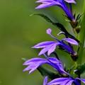 写真: 涼しく咲いて