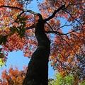 写真: 天空の紅葉