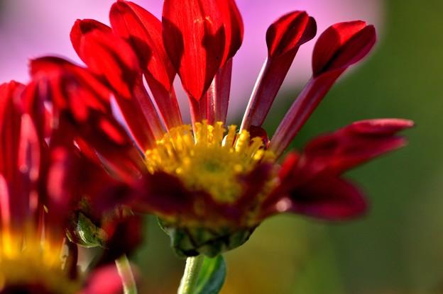 菊の季節に
