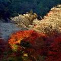 写真: 四季桜とモミジ