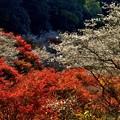 写真: 桜モミジ