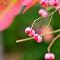 写真: ピンクの紅葉
