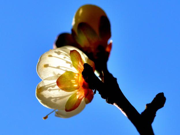 写真: 梅らしく