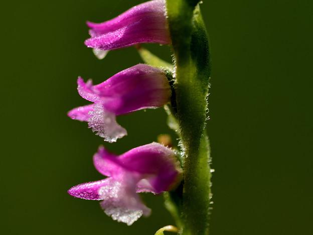 Photos: 梅雨に咲く