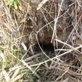写真: キツネの穴