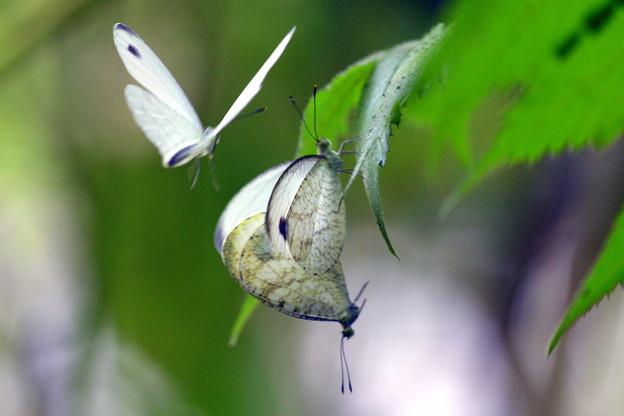 交尾するクロテンシロチョウにちょっかいを出す♂