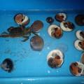 ツメタガイと蟹 (2)