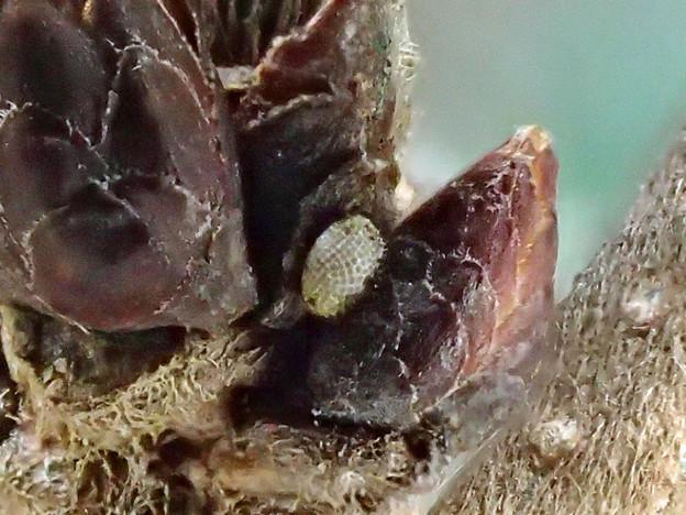 ミズイロオナガシジミの卵(桧原公園) (2)