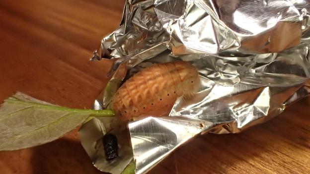 ヒサマツミドリシジミ前蛹(上石津産)