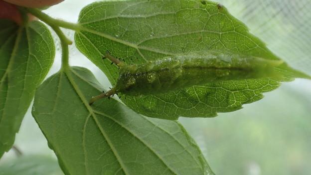 オオムラサキ幼虫(豊田産)