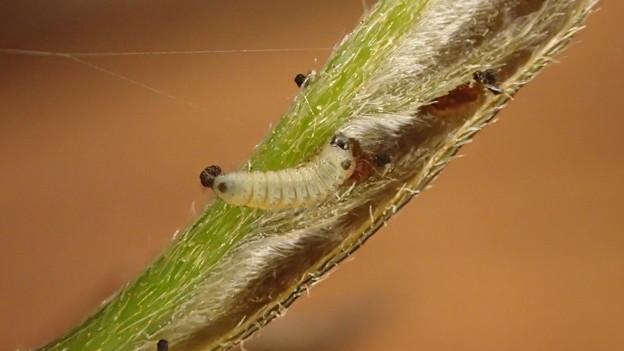 キリシマミドリシジミ幼虫 (1)
