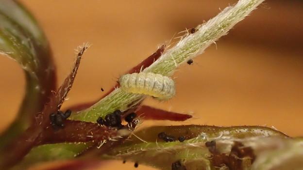 キリシマミドリシジミ幼虫 (2)