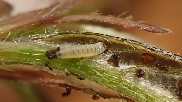 キリシマミドリシジミ幼虫 (3)