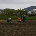 写真: 芋苗植え付け (2)