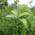 レモンの木(家) (1)