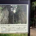 バリバリ岩(南大東島) (2)
