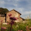 写真: ヤマトシジミ♂(家の畑)