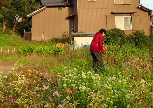 Photos: 畑で飛ぶアサギマダラ♂ (2)