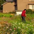 写真: 畑で飛ぶアサギマダラ♂ (2)