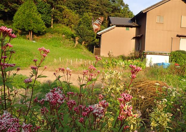 写真: 畑で飛ぶアサギマダラ♂ (3)