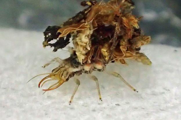クサカゲロウ幼虫(知多市)